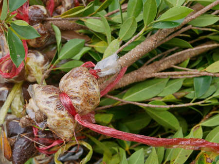 Close up of the roots of a young air layered Ficus annulata branches ready to be planted into the ground