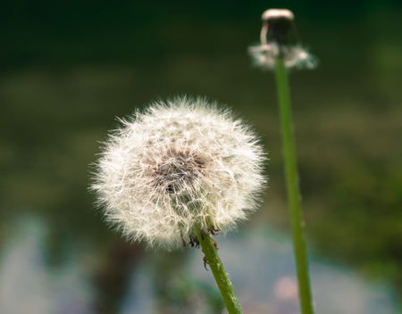 specificity: dandelion plant nature green background