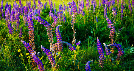 unusually: alley unusually beautiful flowers Lupin