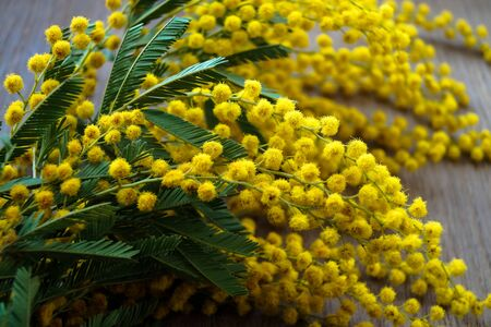specificity: branch of flowers of Mimosa Stock Photo