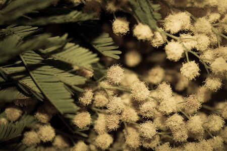 specificity: branch of Mimosa spring flowers photo effect Stock Photo