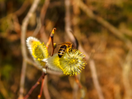 the wasp sits on the kidney willow
