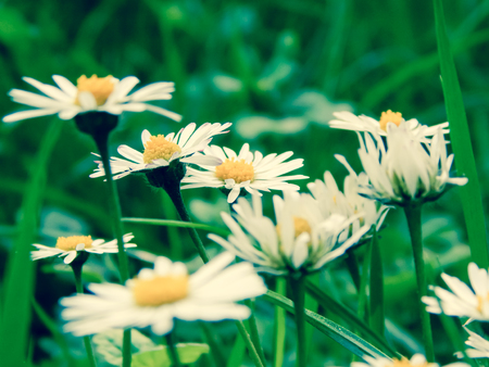 chamomile flowers on a background of green grass photo effect