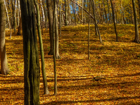 specificity: yellow carpet of autumn leaves in the forest Stock Photo