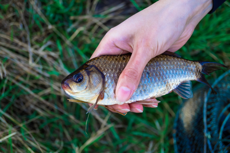 hobby fishing caught a carp in the hand of man Stock Photo