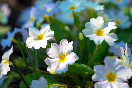 specific: beautiful small spring flowers primrose