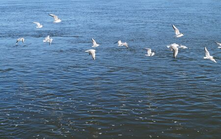 Birds of white seagulls flying over the river afternoon on the sunny wildlife Day Banque d'images