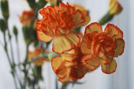 Flowers orange Yellow Carnation Dianthus Flora Nature Botanic Garden Hobby Banque d'images