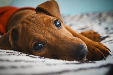 little red puppy breed pinscher resting beautiful look animal portrait Banque d'images