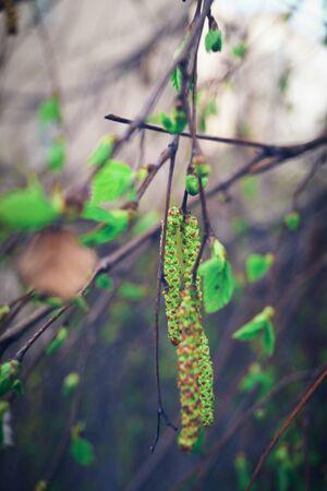Green Bud on a branch of birch Tree