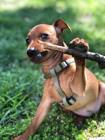 Pet puppy dog breed Dwarf pincher is played in grass with a tree branch of a funny portrait of a small animal