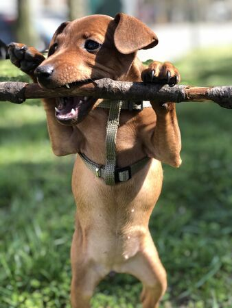 Puppy Dog Pincher is played by a branch of tree funny portrait Pet Pets Banque d'images