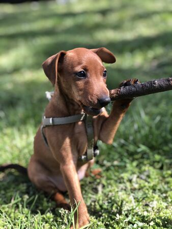 Little puppy dog breeds Tswergpinscher is played by a branch of wood on green grass cute portrait Banque d'images
