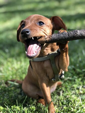 Little Puppy Dogs breed pincher gnaping a tree branch for a walk against a background of green grass funny Portrait