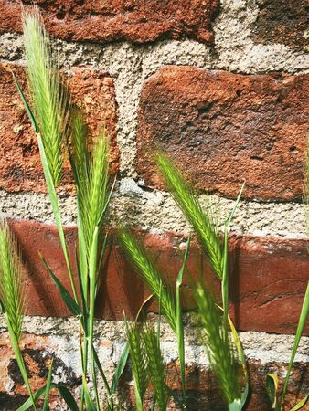 plants summer green spikelets on the background of the old wall of red brick seasonal detail of nature macro photo
