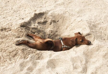 little puppy dog breed miniature Pinscher brown resting on the beach in the sand in the excavated hole funny picture