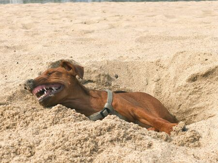 a small brown dog breed the miniature Pinscher lying in the sand and funny bares his white teeth in a portrait Banque d'images