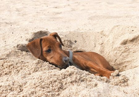 pet brown puppy dog breeds miniature Pinscher resting in virit pit in the sand on the beach in summer Sunny day vacation funny picture Banque d'images