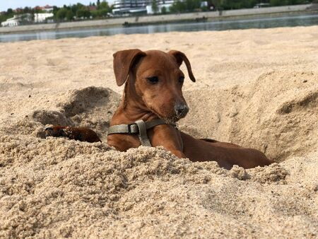 puppy dog breed Pinscher brown resting on the beach in yellow sand portrait Banque d'images
