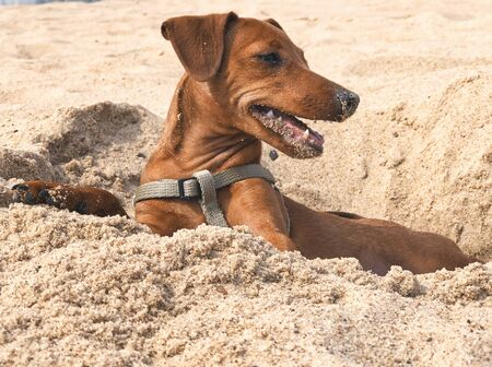 pet dog breed the miniature Pinscher brown on a background of yellow sand on summer beach portrait