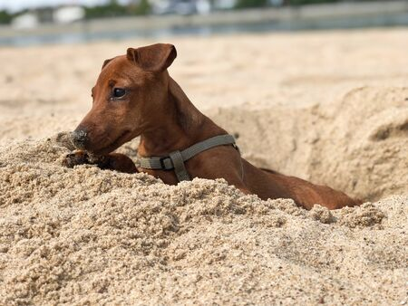 brown puppy of the breed the miniature Pinscher looks from the dug holes in the sand on the beach in the summer on a Sunny day, holiday portrait