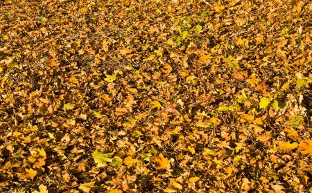 Fallen yellow leaves cover the ground. Autumn. Texture.