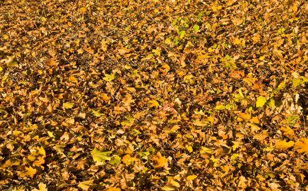 dead leaves: Hojas amarillas ca�dos cubren el suelo. Oto�o. Textura.  Foto de archivo