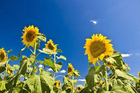 Sunflowers against the blue sky. Summer landscape. Clear sky