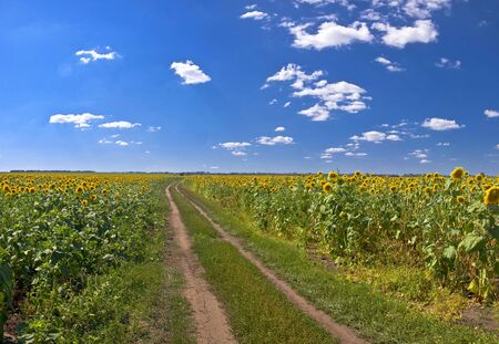 Country road in a field of sunflowers. Summer Landscape