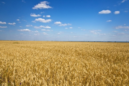 Field of rye in the blue sky. Summer landscape. Country Life