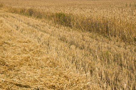 Mown field of rye. Fragment. Harvest time