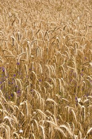 Field of rye. Fragment. Harvest time