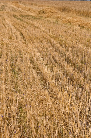 Mown field of rye. Fragment. Harvest time photo