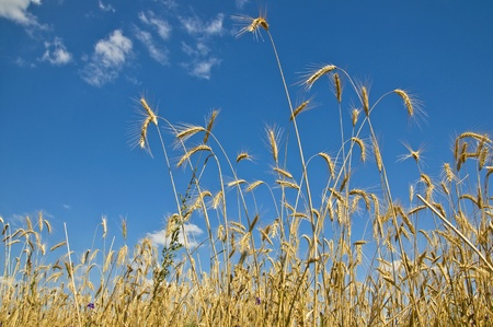 Stems of rye on blue sky background. Selective focus, fragment.