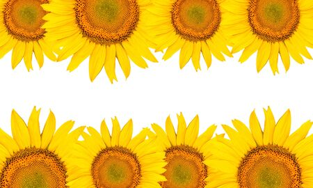 Sunflowers isolated on white background. Summer time.