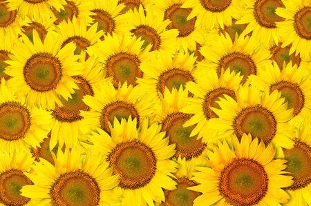 yellow beautiful Sunflower petals closeup