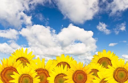 Beautiful yellow sunflower against a background of clear blue sky with clouds.
