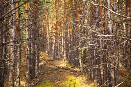 Thick pine autumn forest. Neat rows of trees. Shallow depth of field. Stock Photo