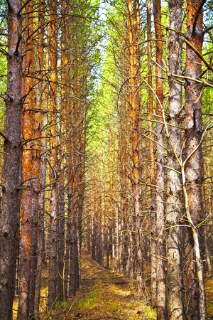 clearing: Thick pine autumn forest. Neat rows of trees. Shallow depth of field. Stock Photo