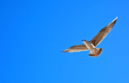 wingspread: Single sea gull flying against background of blue sky