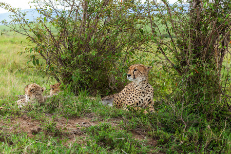 cheetah cub: Cheetah with cub in Masai Mara, cheetah, safari, nature, kenya, national Stock Photo