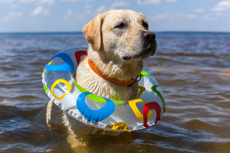 Labrador bathing in the river, spray stick team jump, nature landscape freedom animals Standard-Bild