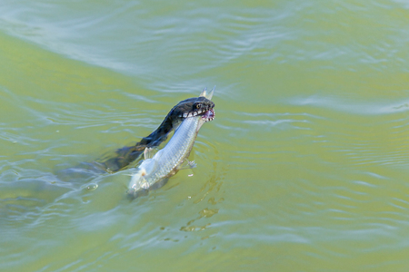 snake head fish: snake catches a fish in the water