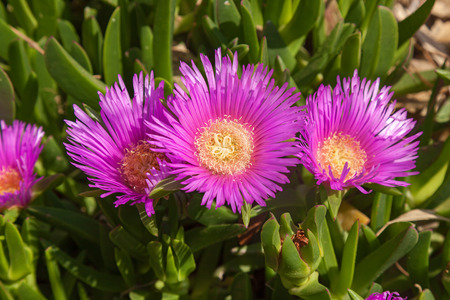 blossoming: Blossoming chrysanthemums,Purple flowers
