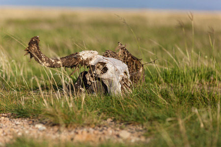 Driftwood. Curved dried driftwood resembling a cattle skull.
