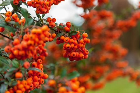 sorb: Bunch of rowan bright orange color on the tree branch surrounded by rich green leaves.