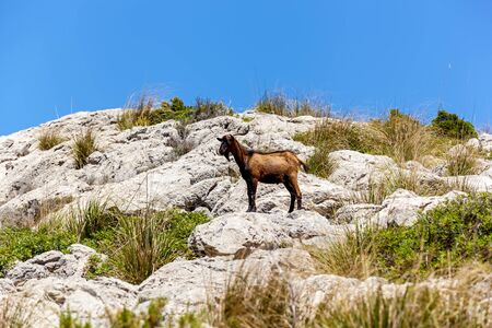 motionless: Goat standing still on the rocky cliff in the grass