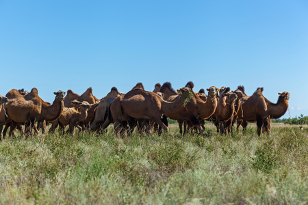 The females of animals with babies graze on a pasture,a camel farm is in Kazakhstan.A camel eats a grass