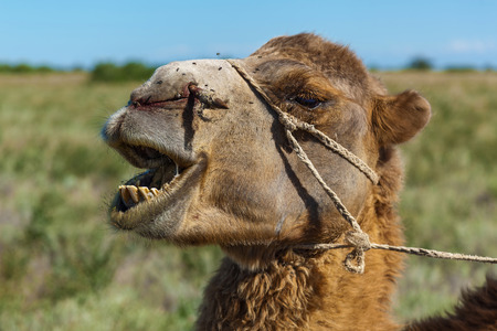 Muzzle of camel, a camel chews a grass.Sharp stick with a rope in the nose of camel, a camel farm is in Kazakhstan