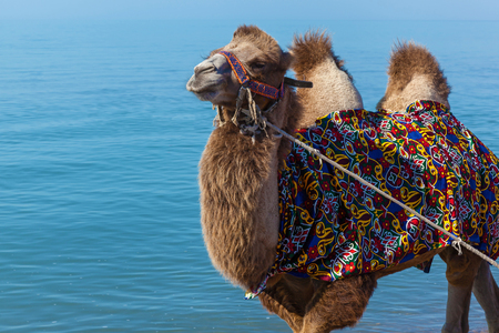 Сamel goes on a beach, a camel is in a national maid Stock Photo
